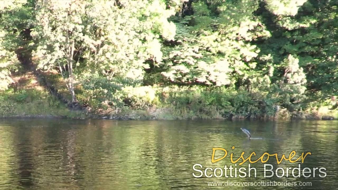 Salmon Jumping on River Tweed near Galashiels
